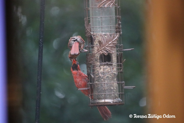 Captured this male cardinal feeding the female right from the bird feeder!
