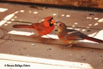 Capturing this shot was so exciting! Male cardinals feed their females!