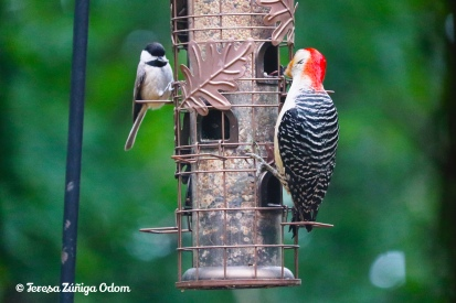 Woodpeckers sharing the feeder with a little bird